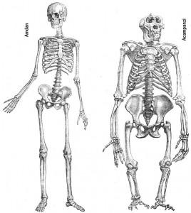 primateshommechimpanzesquelettesdp